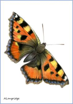 RED ADMIRAL BUTTERFLY//SMALL TORTOISESHELL BUTTERFLY (VANESSA.