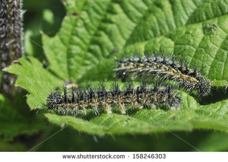 Nettle Caterpillar Stock Images, Royalty.