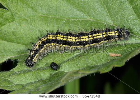 Butterfly Larva Stock Photos, Royalty.
