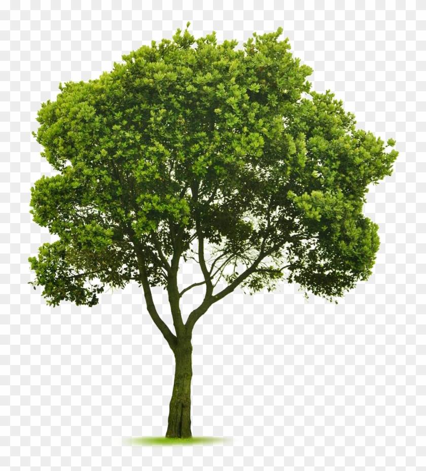 Elm Tree, Photoshop Design, Tree Photoshop, Photoshop.