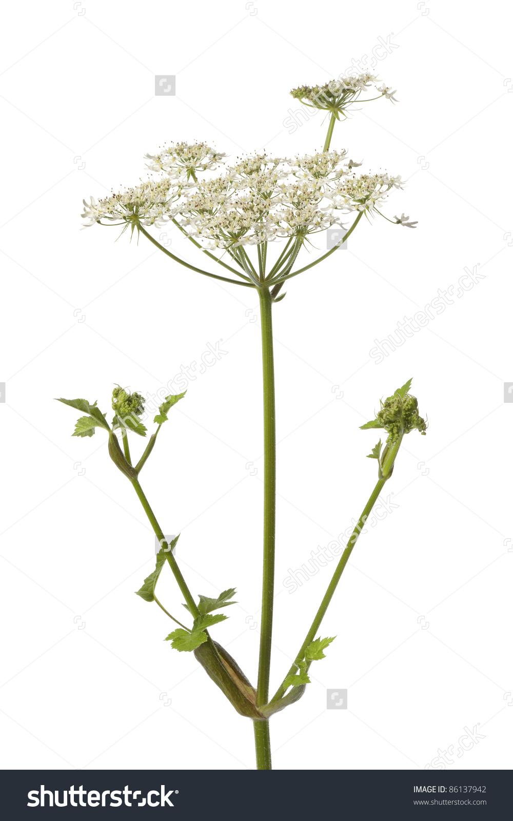 Wild Angelica Flower On White Background Stock Photo 86137942.