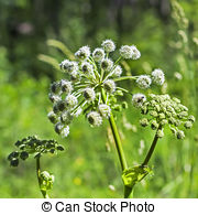 Stock Photography of Wild angelica (Angelica sylvestris) plant in.