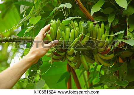 Stock Photo of Inedible small wild bananas in the rainforest.