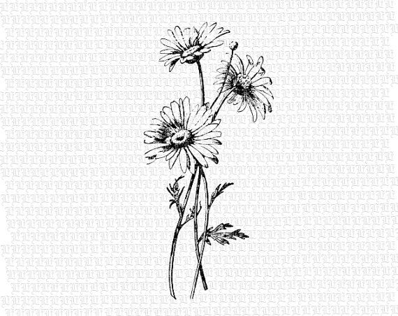 Antique Image Wild Daisies Flower Vintage Clip Art Illustrations.