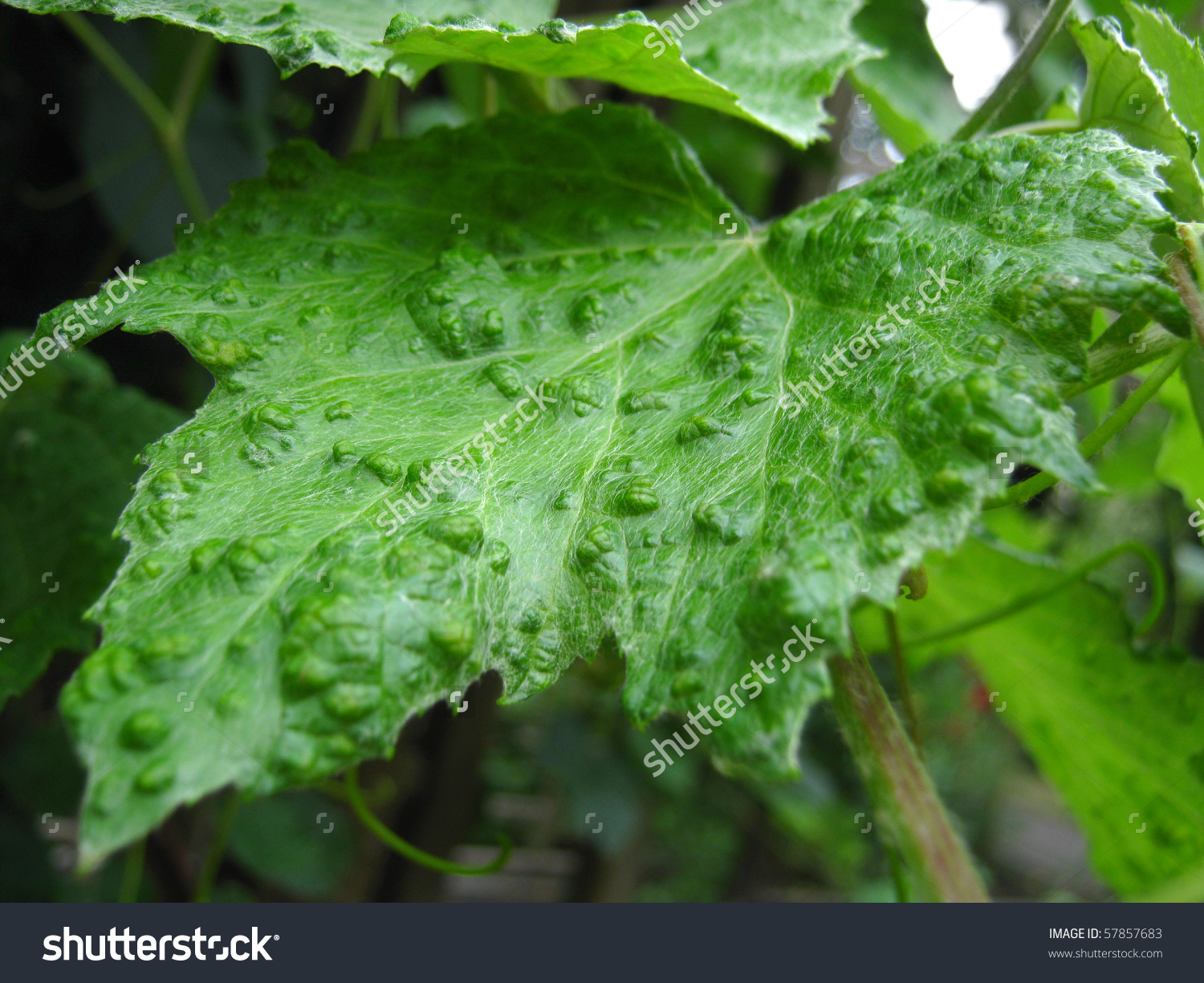 Of A Smallpox Infested Vine Leaf Mites Stock Photo 57857683.