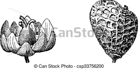 Vector Clipart of Eurasian Smoketree or Rhus cotinus, vintage.
