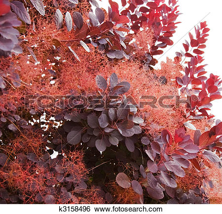 Stock Images of Portion of Smoke Tree k3158496.