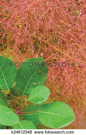 Pictures of Smoketree rhus cotinus coggygria pink blooming, Royal.
