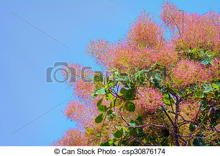 Picture of Smoketree.
