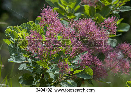 Stock Photo of Coggygria Young Lady in spring, smoke tree 3494792.