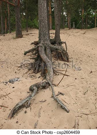 Stock Photographs of Exposed roots of pine trees on the sandy.