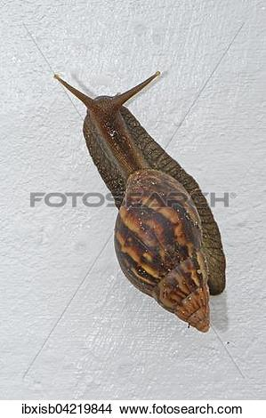 Stock Photo of Giant East African Snail (Achatina immaculata.