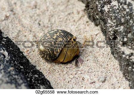 Pictures of Galapagos snail, Punta Suarez, Espanola Island.