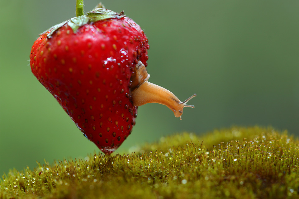 snail living inside strawberry photo by vadim trunov.