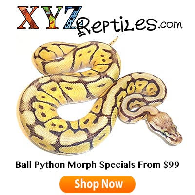 Feeding Ball Pythons.