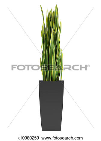 Stock Illustration of Sansevieria trifasciata, the snake plant.