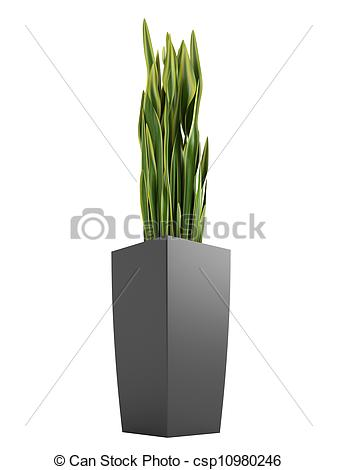 Drawing of Sansevieria trifasciata, the snake plant.