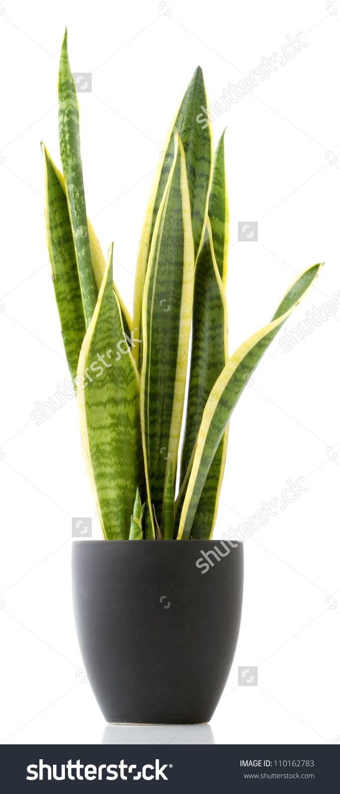 Houseplant Variegated Snake Plant Potted Plant Stock Photo.