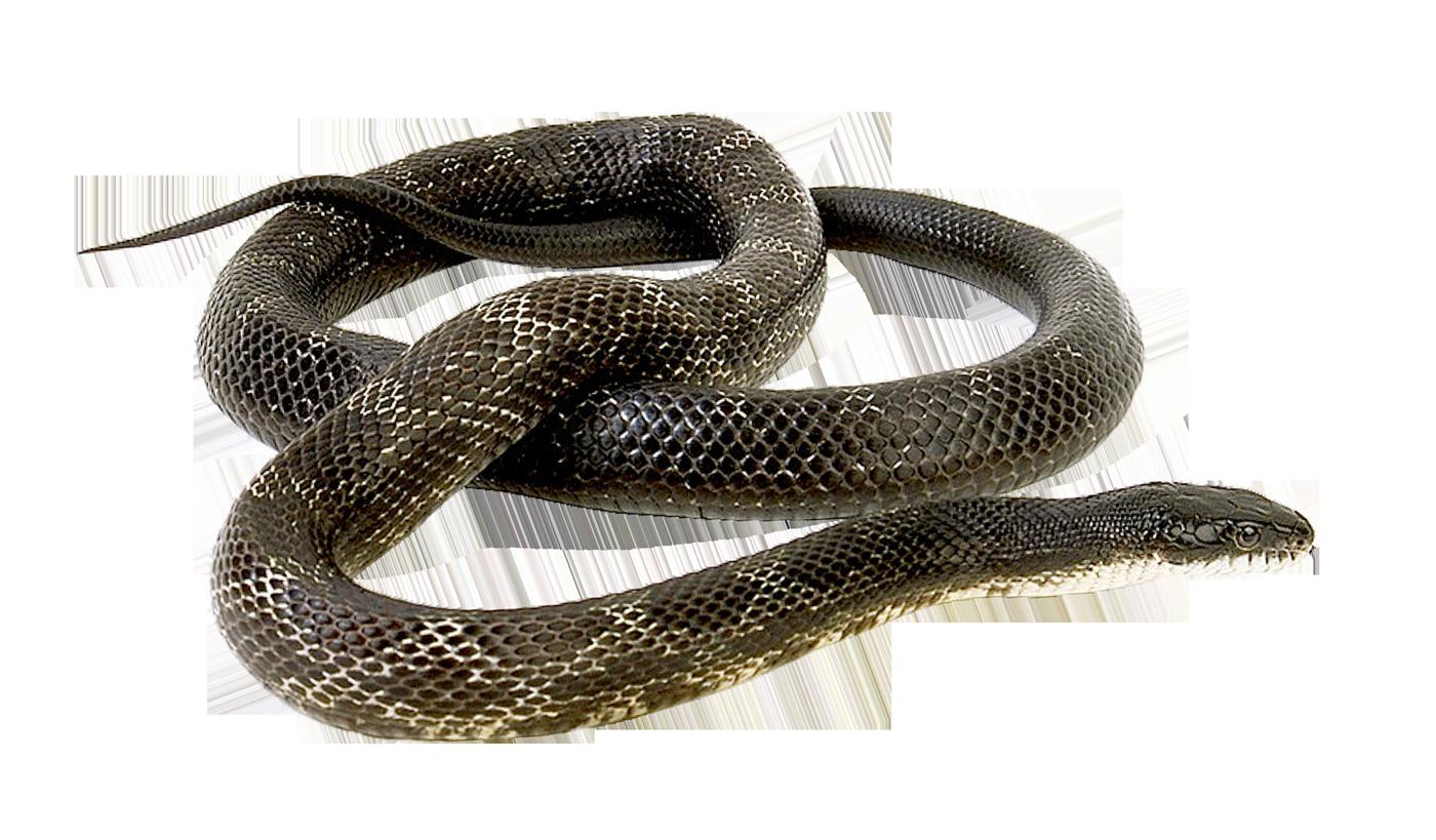 Snake PNG Image.