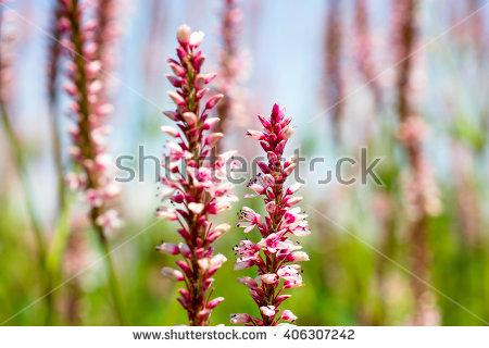 Polygonaceae Stock Images, Royalty.
