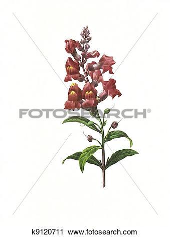 Clipart of flower antique illustration snapdragon k9120711.