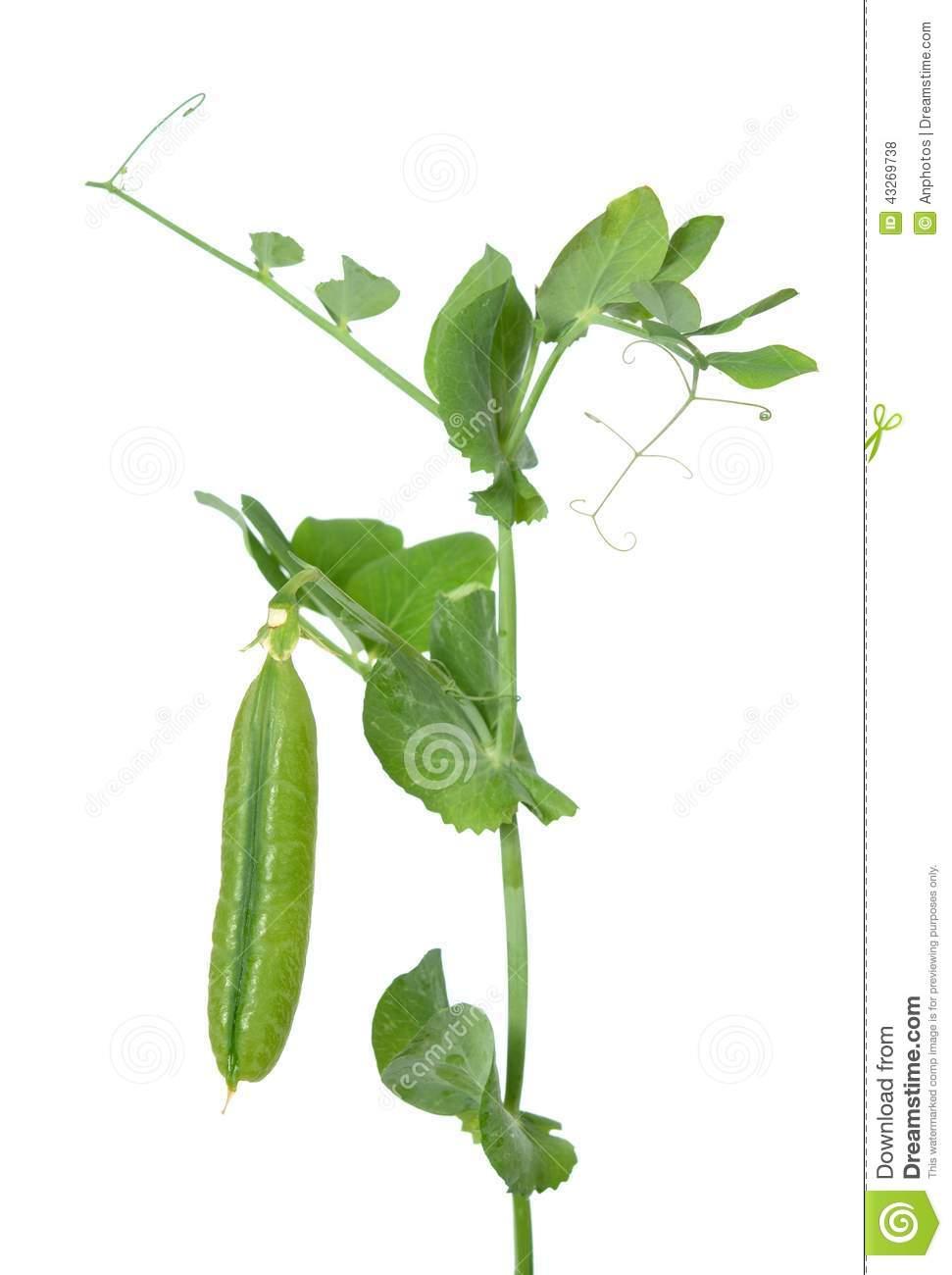 Branch Sugar Snap Pea Stock Photo.