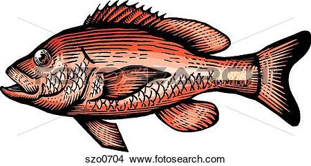 Drawings of A drawing of a red snapper szo0704.