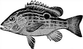 Free Snapper Clipart.