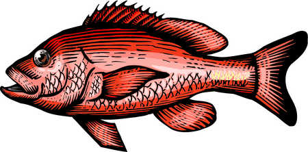 Red Snapper Clipart.