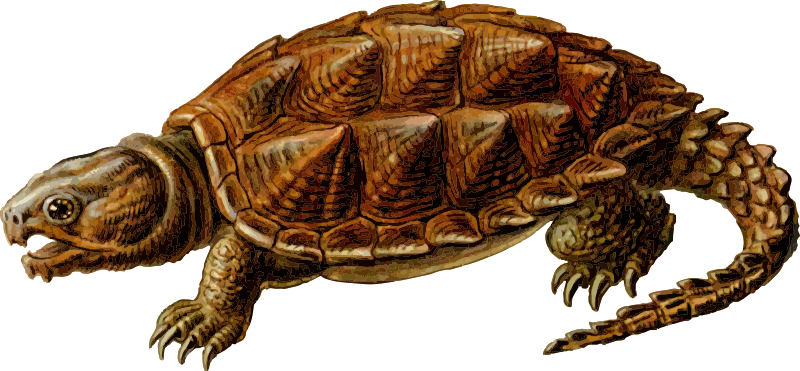 Snapping Turtle PNG Transparent Images.