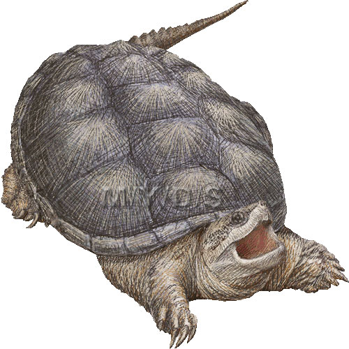 Common Snapping Turtle, Snapper clipart graphics (Free clip art.