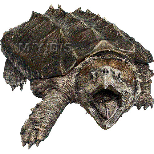 Alligator Snapping Turtle clipart picture / Large.