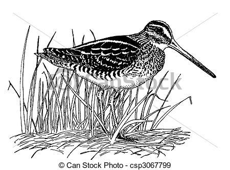 Stock Illustration of Wilsons Snipe.