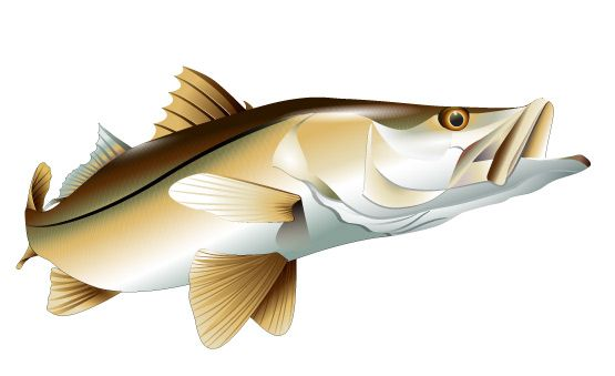 Full color realistic vector illustration of a snook.