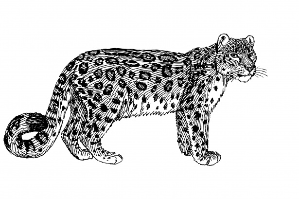 Snow Leopard Illustration Clipart Free Stock Photo.