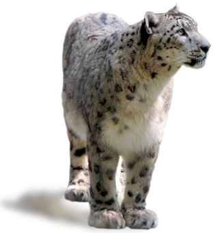 Download Free png About Snow Leopard.