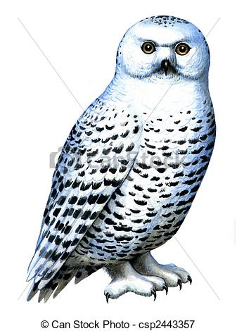 Snowy owl Illustrations and Clipart. 158 Snowy owl royalty free.