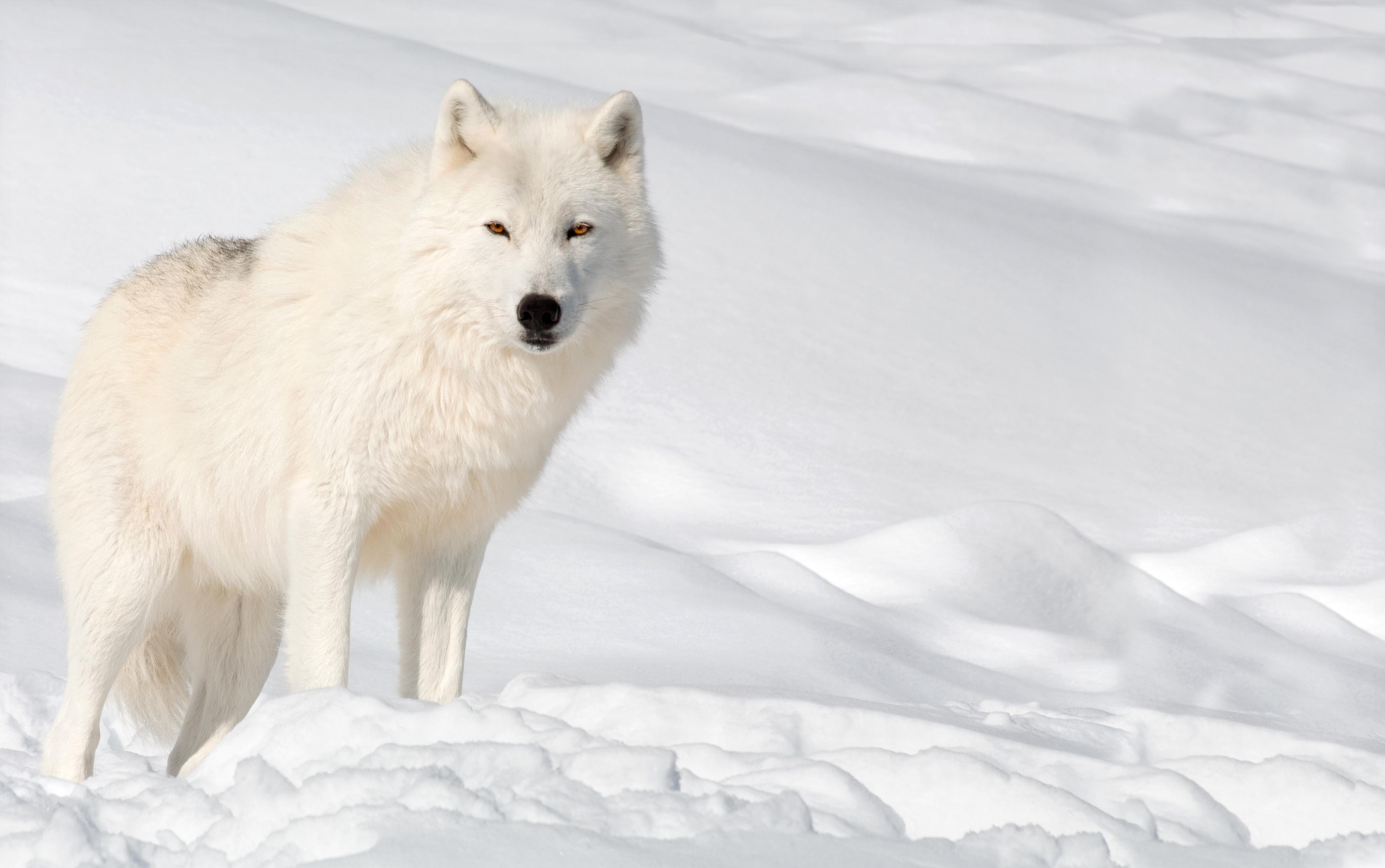 Snow Wolf Wallpaper.