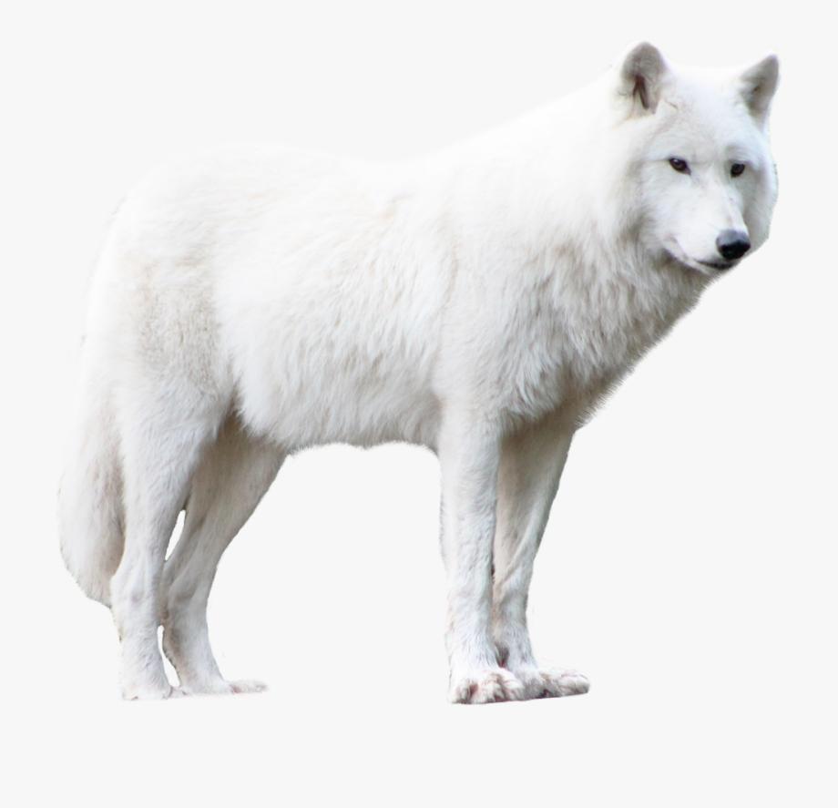 wolf #arcticwolf #whitewolf #wolfpack #wolfs #snowwolf.
