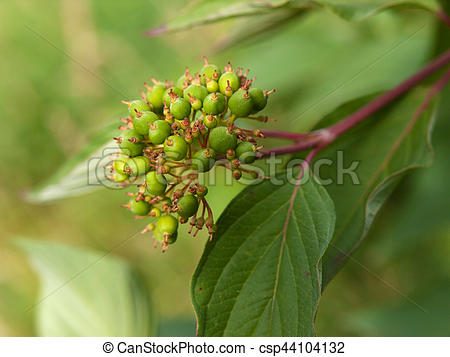 Stock Photos of Symphoricarpos albus laevigatus.