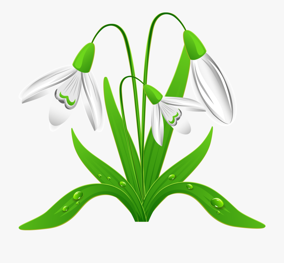 Spring Snowdrops Png Clipart Picture.