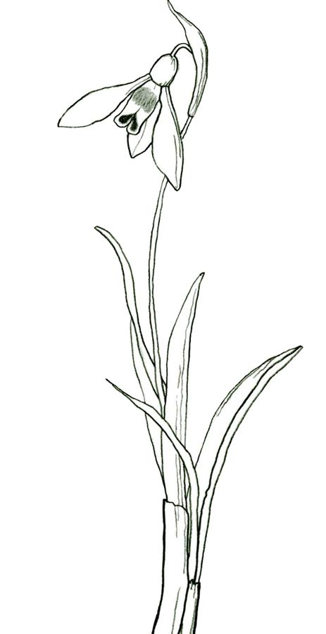 Stylised snowdrop drawing in 2019.
