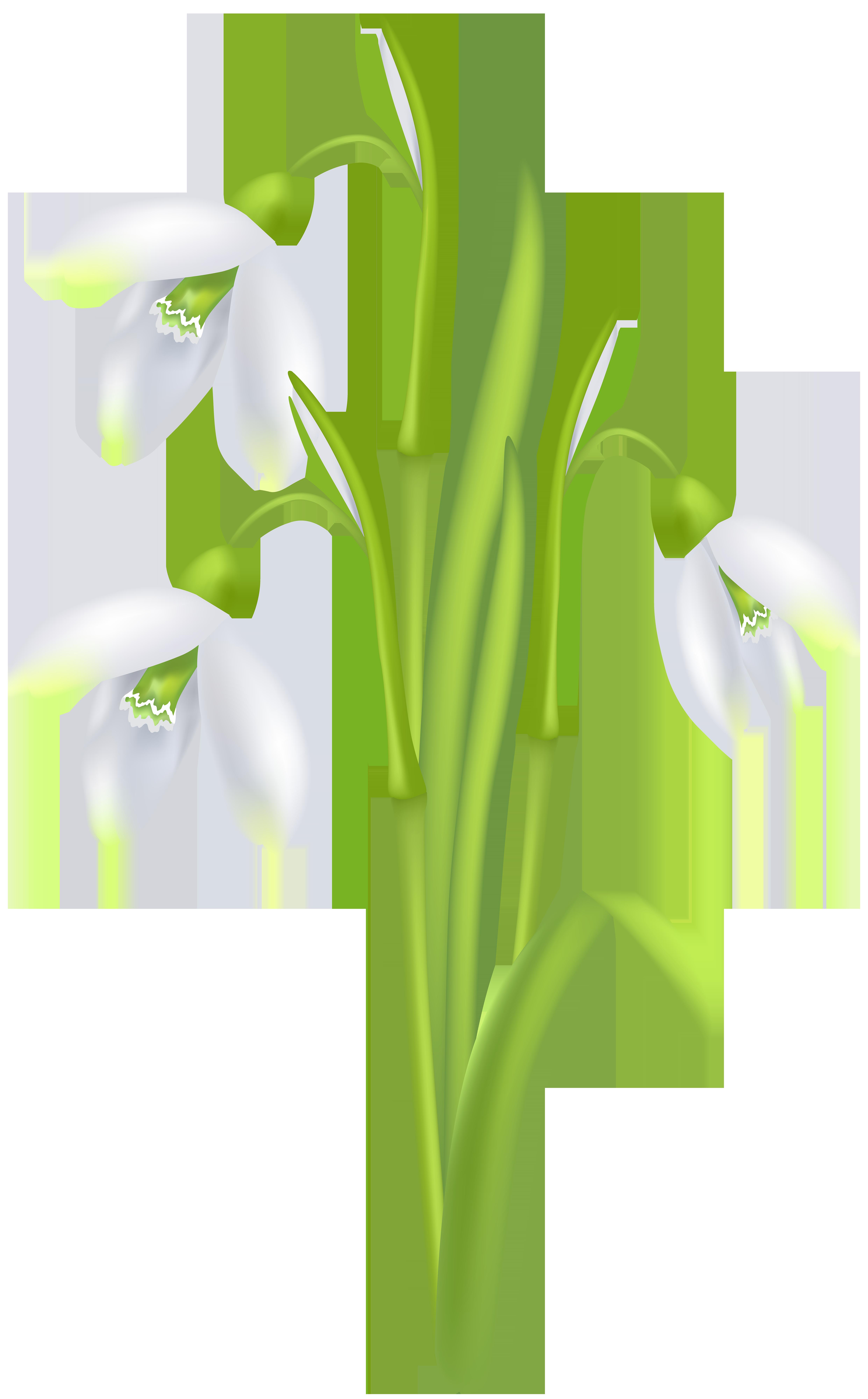Snowdrop Flower Transparent Image.