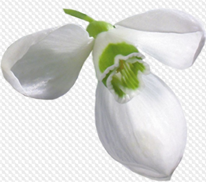 48 PNG, Snowdrop, flowers, images with transparent background.