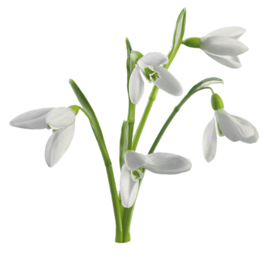 Multiple Snowdrops Flowers transparent PNG.