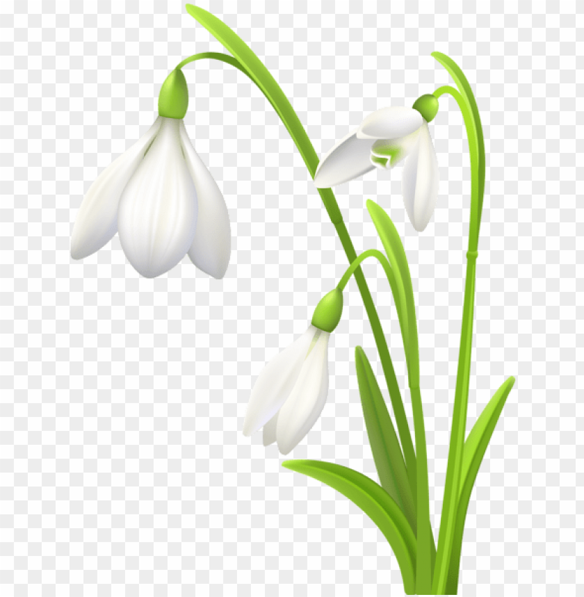 Download spring snowdrops png.