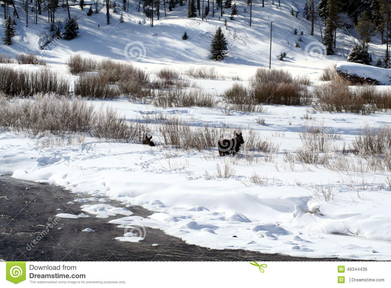 Cow And Calf Moose Feeding On Snow Bank Stock Photo.