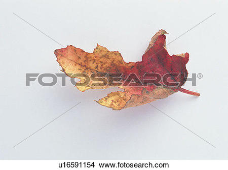 Stock Photo of plant, leaf, background, maple leaf, dried.