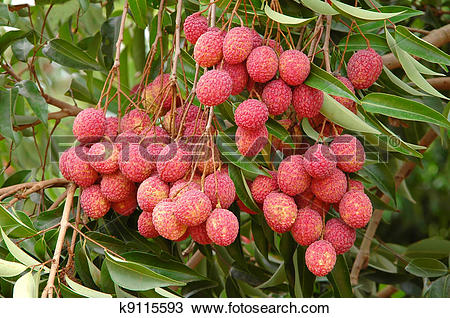 Stock Photo of lychee on tree k9115593.