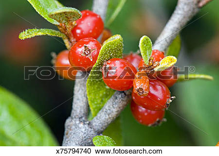 Stock Photography of Closeup of Canada Buffaloberry or Soapberry.
